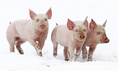 Three-little-pigs-on-a-fa-001